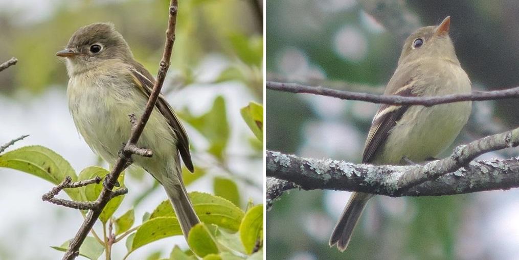 Empidonax flycatcher i...