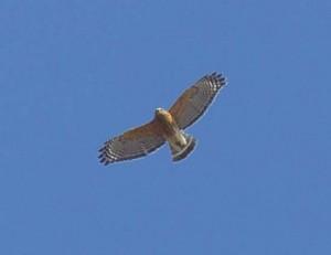 Red-shouldered Hawk 1 11-20 am_33_1J8A0176