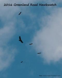 Eagles-Galore-at-Greenland-Road