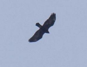 Golden Eagle 3 1-16 pm_24_1J8A0291